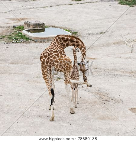 Giraffe With Cub Resting At Waterhole