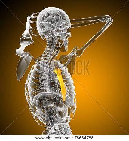 3D Render Medical Illustration Of The Sternum Bone