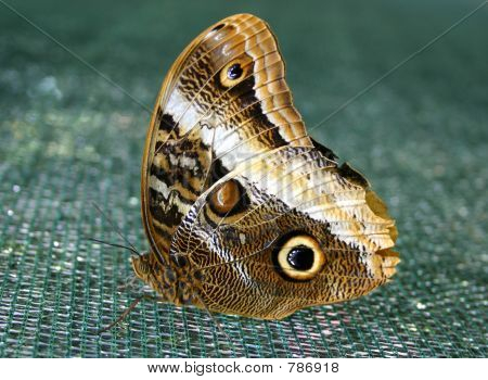 Magnificent Owl Butterfly