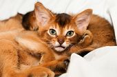 stock photo of ruddy-faced  - Looking at camera abyssinian kitten portrait closeup - JPG