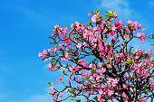 image of desert-rose  - Beautiful desert rose or ping bignonia blue sky - JPG