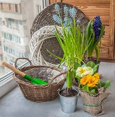 image of primrose  - Spring primroses hyacinths and primroses near the basket and a shovel on the window - JPG