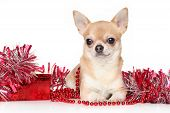 stock photo of chiwawa  - Chihuahua dog lying in red garlands on a white background - JPG