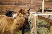 image of feedlot  - Brown alpaca in a stable eating hay - JPG