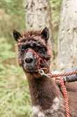 foto of reining  - Brown fluffy alpaca with red rein in a forest - JPG