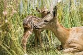 image of deer family  - Close up of a deer family in the grass - JPG