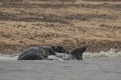 stock photo of sea cow  - Grey Seal Cow and Bull Mating in the Water by the Beach. ** Note: Shallow depth of field - JPG