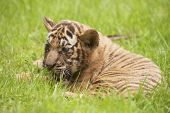 picture of cute tiger  - Baby Indochinese tiger plays on the grass - JPG