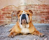 image of pal  - a bulldog in an alley with a brick wall - JPG