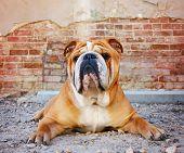 foto of pooch  - a bulldog in an alley with a brick wall - JPG