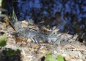 image of alligator baby  - Baby Alligators Basking In Florida Wetlands - JPG