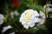 stock photo of lantana  - Cloth of gold or Lantana camara flower vintage - JPG
