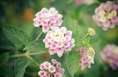 pic of lantana  - Cloth of gold or Lantana camara flower vintage