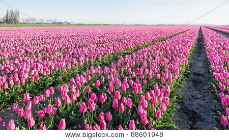 Pink Blossoming Tulips In Long Rows In The Field