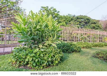 Galangal And Plu Leaf With Garden Background