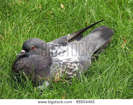 Rock Dove Sitting  In The Grass