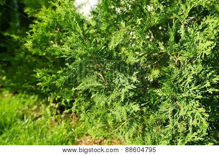Green Thuja tree in the beautiful summer garden.