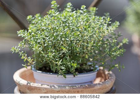 Thyme plant in a clay pot