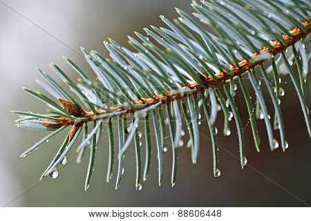 Closeup of blue spruce tree branch with needles and dew drops