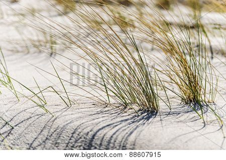 Close Dune Grass On The Baltic Sea