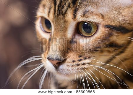 Portrait Of Brown Mackerel Tabby Cat