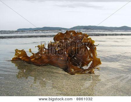 Algae On A Sandy Beach