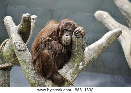 Orangutan Relaxing In A Tree