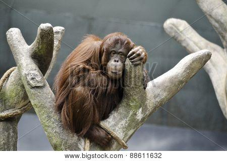 Orangutan Relaxing In A Tree