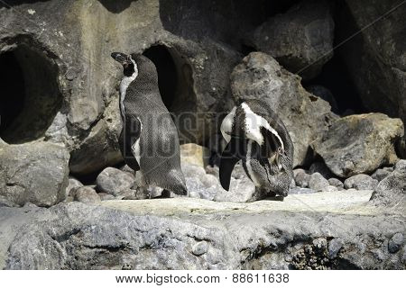 Penguins Standing By Cave