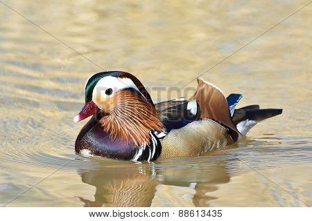 Mandarin Duck (aix Galericulata)