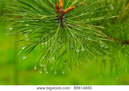 Drops On Needles Of Spruce