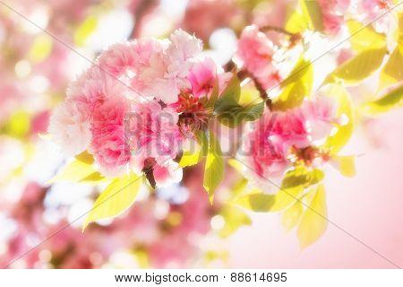 Japanese cherry blooming - flowering
