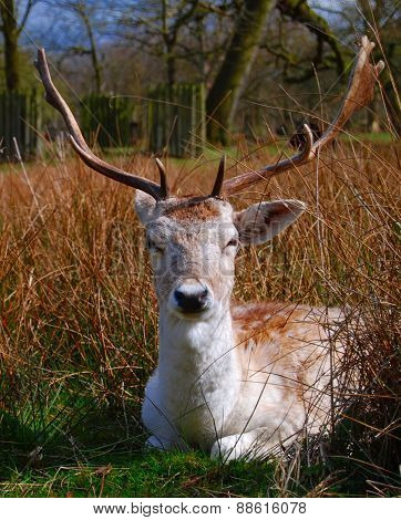 Fallow Deer, Portrait View