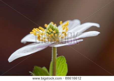 Single Wood Anemone, Brown Background