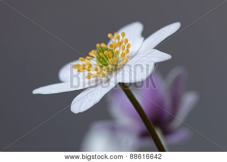 Single Wood Anemone