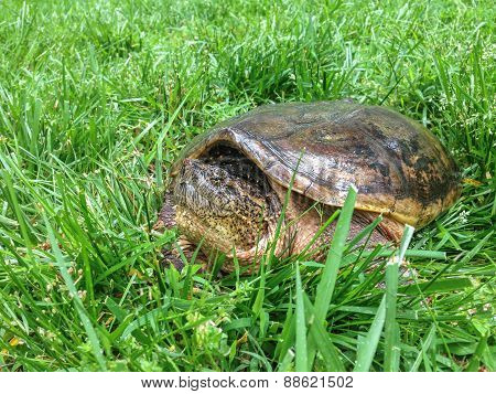 Snapping Turtle Resting In The Grass