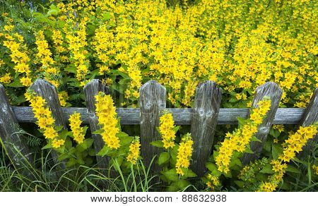 Wooden Fence Surrounded By Yellow Flowers