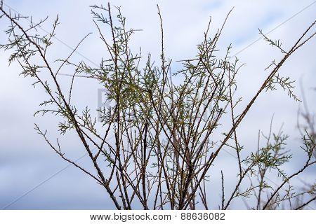 Mediterranean Plant