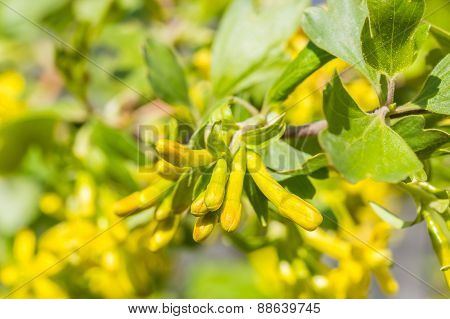 Flower Buds Golden Currant, Macro