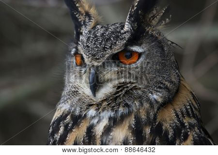 Eurasian Eagle Owl Close-Up