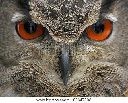 Eurasian Eagle Owl Face