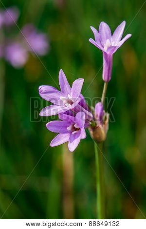 purple Agapanthus africanus flower