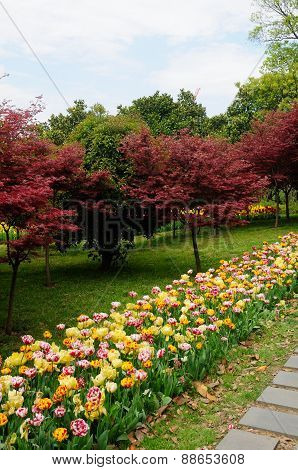Tulips and red maple trees