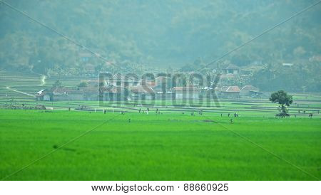 Villagers House Across A Paddy Field In Ciwidey, Bandung, Indonesia During A Misty Morning In Pseudo