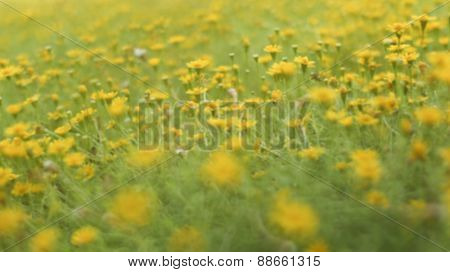 Garden With Bellis Perennis Flower Known As Common Daisy
