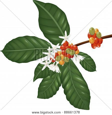Coffea  species branch with coffee berries and blossom