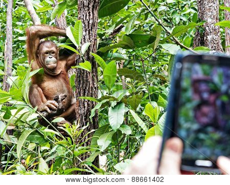 Candid Pose Of An Orang Utan And A Tourist Phone Camera