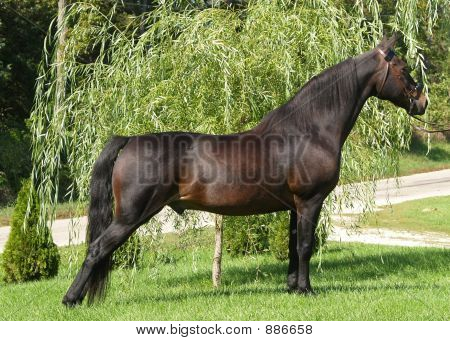 Black Morgan Horse