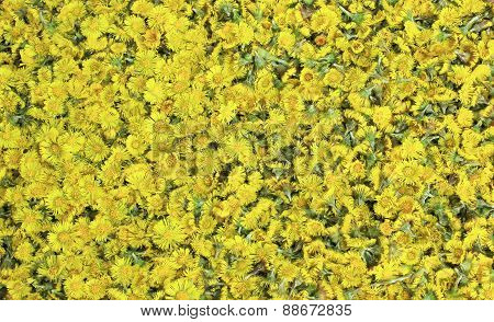 Golden Coltsfoot Blossoms, Natural Homespun Remedy
