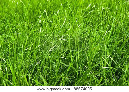 Green Grass Growing From A Spring Lawn.